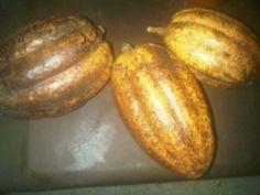 Maracas de Cacao. Foto tomada por Yolanda Brito en La Población de Galipán (Estado Vargas- costa central)