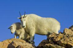 Mountain Goats, Colorado