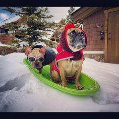 These two studs bobsled. AKC eat your heart out.