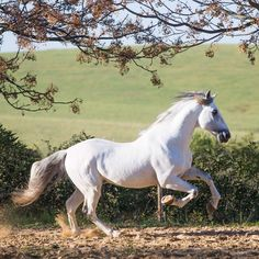 ❤️ Horse Galloping, Andalusian Horse, Pretty Horses, Beautiful Horses, Beautiful Things, Horse Anatomy, Unicorn Horse, Types Of Horses, Majestic Horse