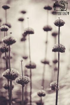 Flower Photography, Cottage Gardens, Photography For Beginners, September 2014, Dandelion, Flowers, Plants, Beautiful, Dandelions