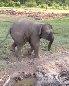 Ova malena beba slona uplašila se od koze, a potom otrčala kod svoje mame i sakrila se!