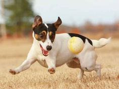 10 Things to Consider,When Thinking of Getting a Jack Russell Terrier