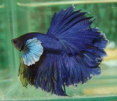 Big Ear Dark Blue Feathertail