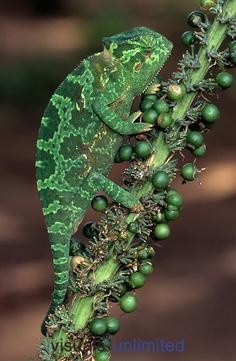 Flap-neck Chameleon (Chamaeleo dilepis).