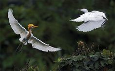 https://flic.kr/p/8dMFtd | #610 雙鷺交錯 Flying Trapeze | 黃頭鷺.攝於台灣 台北縣坪林   Cattle Egret, taken at Pinglin, Taipei County, TAIWAN