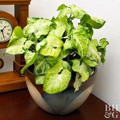 """One of the most common houseplants, arrowhead vine features distinctly arrow-shaped leaves (hence the moniker)."" It is one of the easiest houseplants to grow according to BHG."