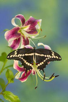 Black Beauty Butterfly. Darrell Gulin