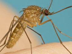 Bạn có biết muỗi đực vì sao không hút máu không?