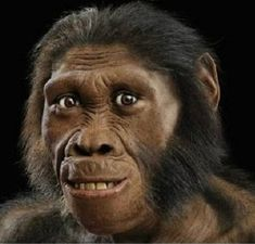 Homo Habilis - recreation from skull fossil.  Emerged approximately 2,500,000 years ago.  800cc brain size.