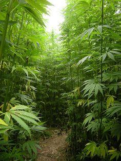 Como en mi casa no tengo #cannabis, les muestro una foto del patio de mi vecino. Jajaja