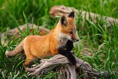 Cute Baby Fox On A Driftwood Pile Wonderous Wildlife Baby Fox Pet, Baby Red Fox, Fantastic Fox, Fabulous Fox, Red Fox Pictures, Animal Pictures, Beautiful Creatures, Animals Beautiful, Fennec