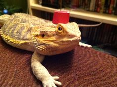 I'm a Dragon now. Dragons are cool! Bearded dragon in a fez! Doctor who