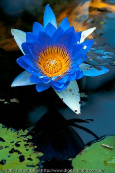 Blue Water Lily with reflection in the pond