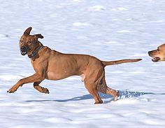 Eagleridge Woody, Rhodesian Ridgeback dog