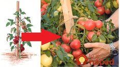 Gazdovia prezradili tajomstvo najsilnejších rajčín, ktoré rodia až do novembra: Toto povedzte každému, kto pestuje! Pesto, Vegetables, Food, Compost, Meal, Veggies, Essen, Vegetable Recipes