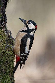 Great Spotted Woodpecker, Norway | by janmangorfagerland Spotted Woodpecker, Eagle Bird, Norway, Birds, Friends, Beautiful, Instagram, Amigos, Bird