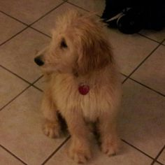 Our new baby http://motherbabychild.blogspot.com/2012/09/our-new-baby-dougie-14-weeks-old.html - Dougie is our Goldendoodle pup :)