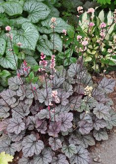 Plant Combination: Brunnera 'Jack Frost' (left) with Heuchera 'Silver Scroll' (in the foreground) and Hosta 'Fire and Ice' (in the upper right). What's nice about this combination: Both the Brunnera and the Heuchera have silver foliage, but they couldn't be more different or more complimentary. The cream of the hosta's foliage adds that all important element of contrast. Three Dogs in a Garden