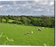 SHEEP Canvas Print featuring the photograph Sheep by & copyright Richard Brookes. DESCRIPTION: Sheep graze peacefully in the beautiful rolling panoramic landscape of rural North Cornwall, UK. Taken in the spring.