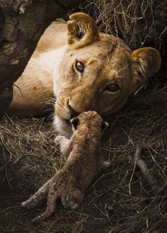 Images of Lions behavior, portraits and landscapes | Federico Veronesi Photography
