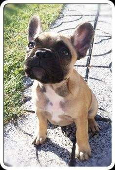 I am not usually a fan of the tiny dog, but I love French Bulldogs. They are so freakin' cute.