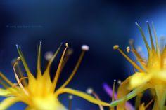 Estambres de flores de Sedum palmeri con polen (3/3)