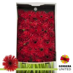Gerbera Spider Pepper is a pretty Red cut flower. A wonderful rich colour - how about giving your lady this beautiful flower for Valentines Day? Perfect for all arrangements and very popular. Beautiful Flower Arrangements, Wedding Flower Arrangements, Wedding Flowers, Cut Flowers, Spring Flowers, Florist Supplies, Gerber Daisies, April Wedding, Gerbera