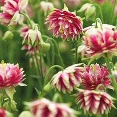 Aquilegia Nora Barlow Plants http://www.mr-fothergills.co.uk/Flower-Plants/Powerliner-Plug-Plants/Aquilegia-Nora-Barlow-Powerliner-Plug-Plants.html