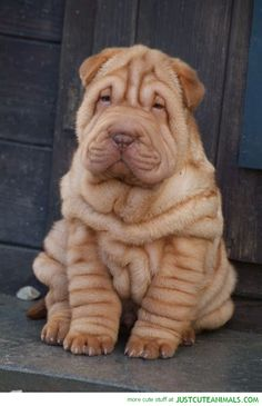 Wrinkly Pup omg not enough hearts ,,,