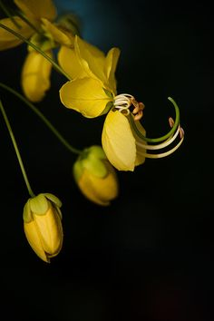 Wise Knights, 2014 Mario Morales Rubí Cassia Fistula Golden Shower Tree Botanical Fine Art Photography Prints Collection
