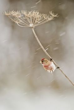 Most people in North America get to see Common Redpolls only