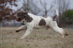 Lagotto Romagnolo - Romagna/Italy - Water & Truffle Dog
