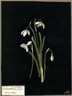 Mary Delany, Galanthus Nivalis, Single Snowdrop, 1777