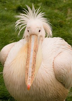 puffy pelican