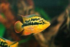 AquariumV - Cichlid - Salvini