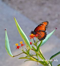 RAMBLINGS FROM A DESERT GARDEN....: Butterfly Gardening for the Southwest Garden