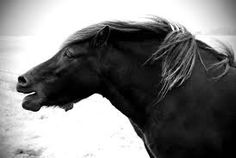 Beautiful, rugged icelandic horse