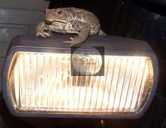 Title...FROG LIGHTS. I snapped this picky some years ago when we owned a gorgeous black BMW m/bike. I spotted the friendly TOAD skulking in the garage, so I borrowed him/her for a few minutes So after ensuring my willing model was safe, by placing a huge cut down cardboard box lined with a soft cloth beneath him and ahead of him, in case he jumped, which he didn't. I then popped on the fog light and snapped the picture. Please Note: no frog/toad was harmed in this event,