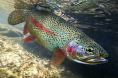This NEVER gets old. www.vailvalleyanglers.com #FlyFishing