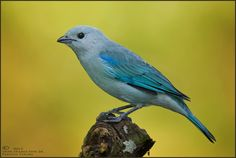 Blue-grey Tanager (Thraupis episcopus) by Don  Hamilton Jr. on 500px