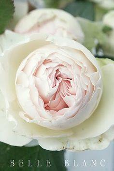 David Austin Garden Rose in Juliet