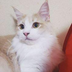 ぱっちりディーン✨おはよー❣❣ マイナス➖5度の寒すぎの朝w  空気の入れ替え秒で終わった😣😣😣 真ん中木曜日✨皆さん風邪ひかないように😷あたたかくしてお出かけ下さいね😩😩😩 素敵な1日をー(^.^)/~~~ #ねこ#ネコ#猫#ねこら部#ねこ部#cat#catlover#catssofinstagram#instacat#gato#mixcat#meincoon#munchkin#にゃんすたぐらむ#にゃんだふるらいふ#猫のいる暮らし#猫の多頭飼い#猫と暮らす#愛猫#猫好き#ミックス猫#メインクーン#マンチカン#もふもふ#最近はめっきり大人になって#一緒に寝てくれないしw#おはよう