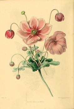 Anemone Japonica. Plate from 'The Gardeners' Magazine of Botany, Horticulture, Floriculture and Natural Science' (1850).