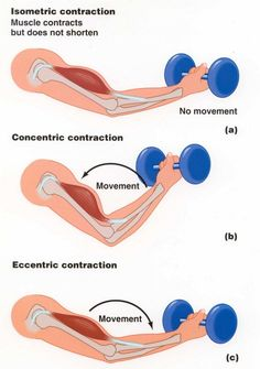 Muscular Strength - type of contraction, eccentric contraction produces the greatest force, then the isometric contractions which means there is no change in the muscular length and then then concentric contraction with is the shortening of the muscle. Exercise Physiology, Anatomy And Physiology, Hand Therapy, Massage Therapy, Isometric Contraction, Fitness Tips, Fitness Motivation, Muscle Fitness, Triceps Workout