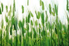 Island, Abstract, Barley Field, Cheongbori #island, #abstract, #barleyfield, #cheongbori