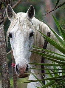Andalusian Horse    Origin: Spain.