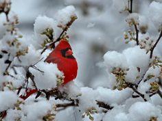 #Cardinal #snow #winter