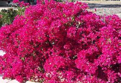 This variety of Bougainvillea 'San Diego Red' grows everywhere in San Diego. This shrub is great for year round color as long as you plant  it in a sunny location.  'San Diego Red' can reach 12-15 feet wide  and loves to sprawl over a fence as seen in this photo.  Bougainvilleas are drought tolerant but they are also frost sensitive.  A sustained chill of under 30 degrees will kill the top of the plant,  but not the whole plant.  Bougainvilleas are also thorny, so use carefully.