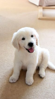 Golden retriever 10 week old puppy via English Golden Retrievers, Dogs Golden Retriever, Retriever Dog, Cute Little Puppies, Cute Dogs And Puppies, Doggies, White Lab Puppies, Dog Care, Cute Baby Animals
